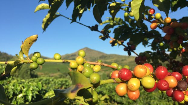 Cafeaua din întreaga lume se află în pericol de extincție, susțin experții